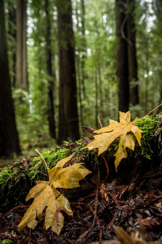 maple redwoods vertPSi.JPG