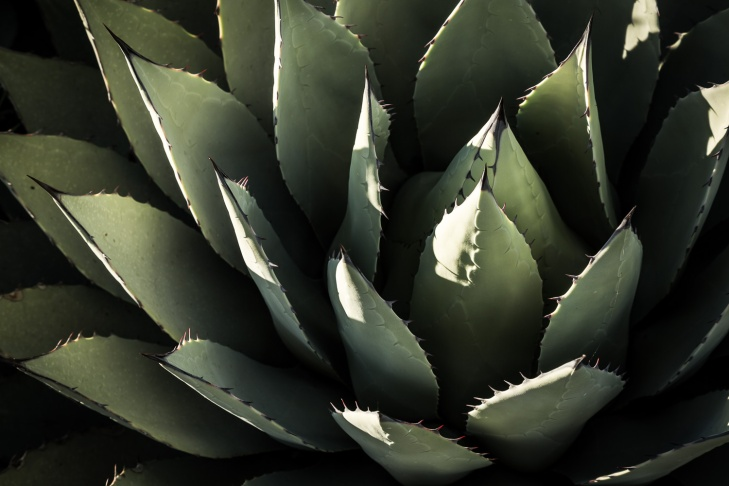 agave clos hort_IR.jpg