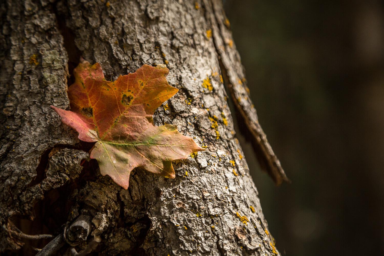 maple bark2_IR.jpg