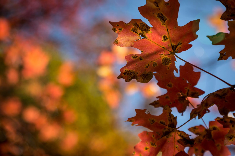 red leaf sky_IR.jpg
