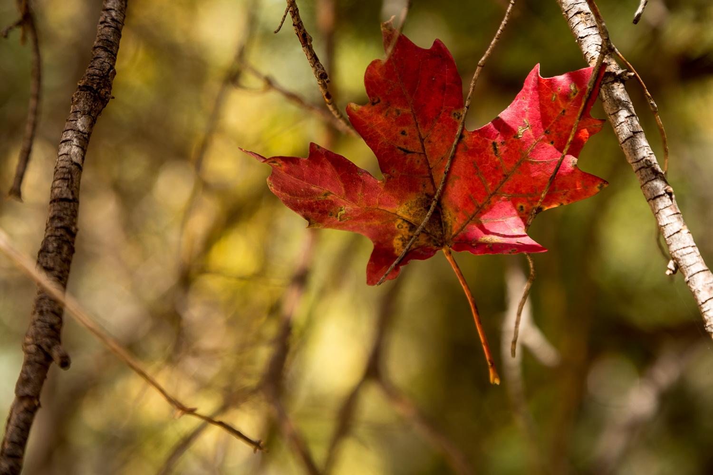 red tangle_IR.jpg