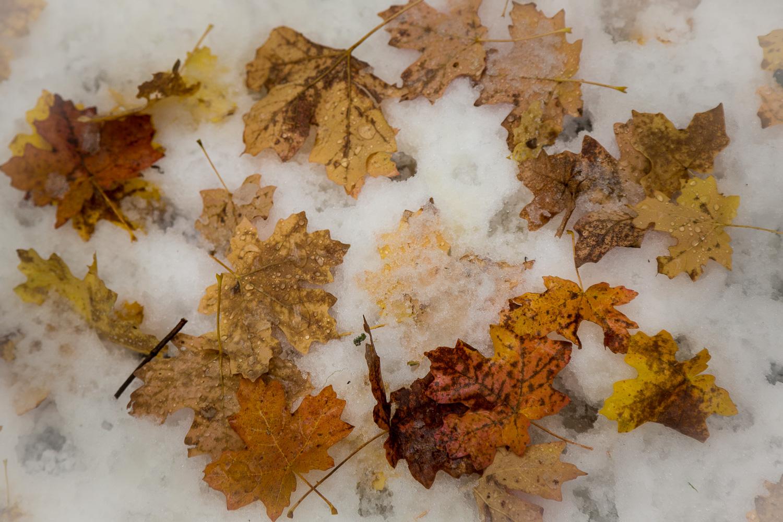 Maple Snow_IR.jpg