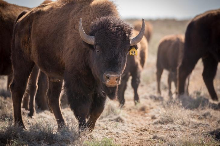 bison54_IR.jpg