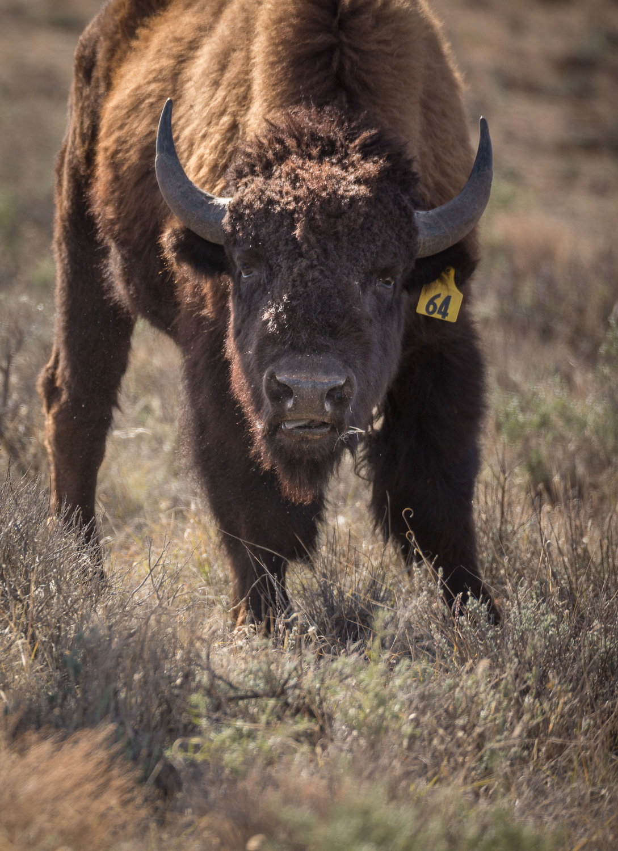 bison64 vert_IR.jpg