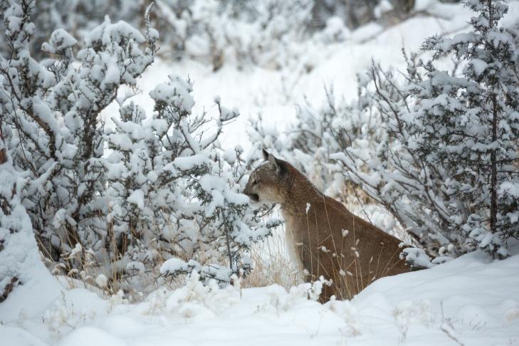 Mountain Lion Snow_IR.jpg