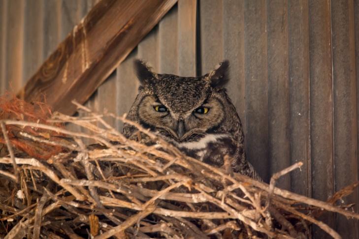 Great Horned Owl Hort_IR.jpg