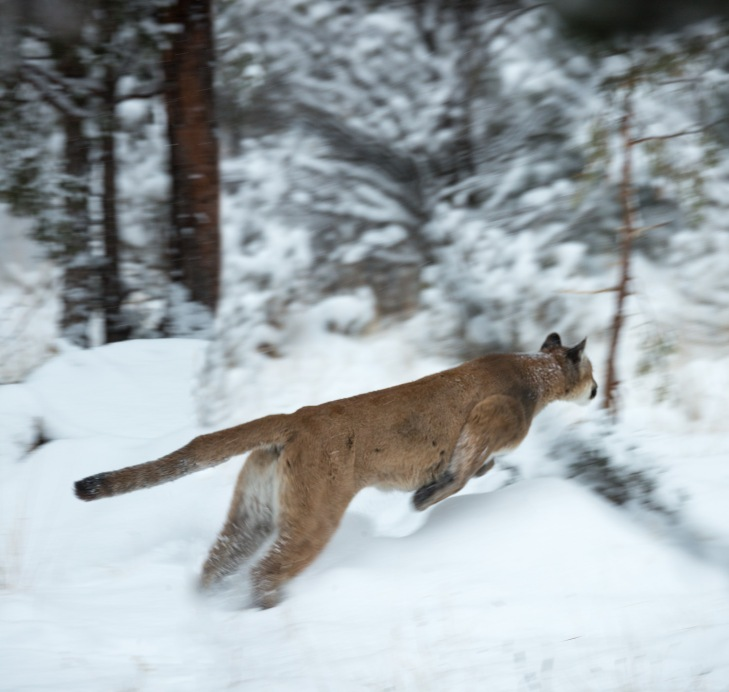 MountainLion Leap_pano_IR.jpg